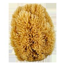 Sea Sponge