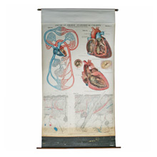 Anatomical Wall Chart by AJ Nystrom C1940s