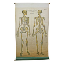 Human Skeleton Teaching Chart by AJ Nystrom C1945