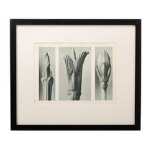 Framed Karl Blossfeldt Print 10 c1929